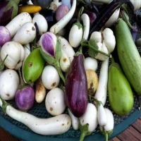 Bianca Oval Heirloom Eggplant Seeds