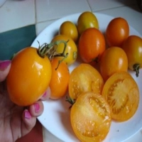Olga's Round Yellow Chicken Tomato